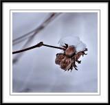 snow dressed beechnuts...