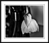 light and shadow tulip...
