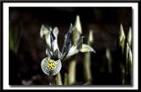 mini Iris...