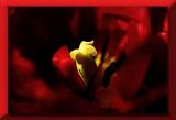 red tulip...