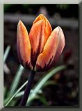 orange tulip with a plum colored design...