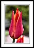 elegant tulip...