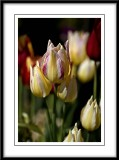 tulips with up to three blooms on one stem...