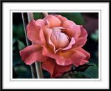 westerland rose...