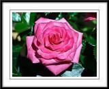 a velvety pink rose...