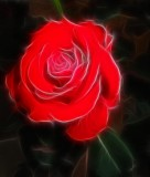 lone red rose