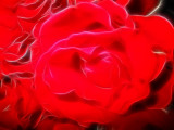 up close red roses