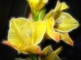 yellow gladioli