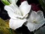 gladioli in white