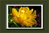 double yellow tulip