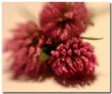 deep pink clover