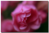 mini climbing roses