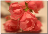 mini climbing rose 3