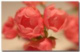 mini climbing rose 4