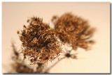 seedheads-2