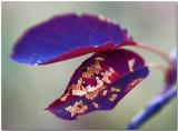 unusual-colored-leaves