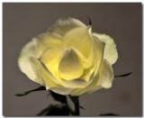 white-rose-3