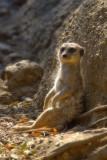 Meerkats & Lemurs, Oakland Zoo