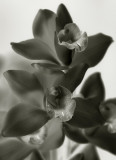 Orchid Faces