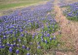 Bluebonnets near Seguin