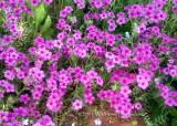 New Berlin Wildflowers- Phlox