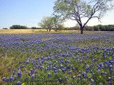 Texas Wildflower Report 2011