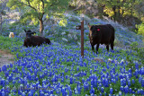 Bluebonnet Cattle