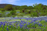 Texas Bluebonnet Scene