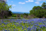 Skyline Bluebonnets