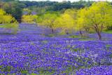 Bluebonnet Mesquite Grove