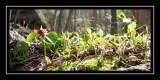 Signs of spring - trillium!