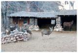 Mule deer hijacking the mule's food