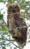 Great-Horned-Owl (Juvenile)