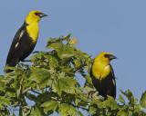Yellow-headed-Blackbirds