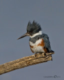 Belted Kingfisher (Female)