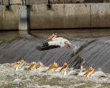 Pelican going over the dam