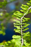 Bald Cypress Young Leaves