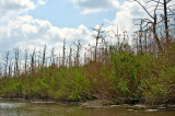 Cypress Swamp Slowly Dies