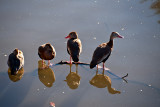 The Black-bellied Whistling-duck