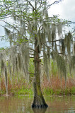 Veils Of Spanish Moss