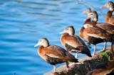 The Black-bellied Whistling-ducks