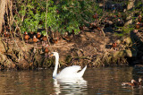The Swan And The Black-bellied Whistling-ducks