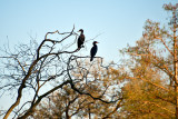 The Double-crested Cormorants