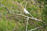 The Snowy Egret