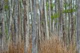 Bald Cypress Forest