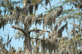 Spanish Moss On Bald Cypress