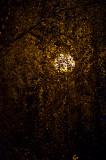 Lantern In The Birch Tree