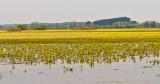 Biebrza River Wetlands And Marsh Marigold
