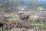 Moose At Daybreak