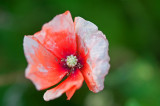 I Like Popping Poppies Too